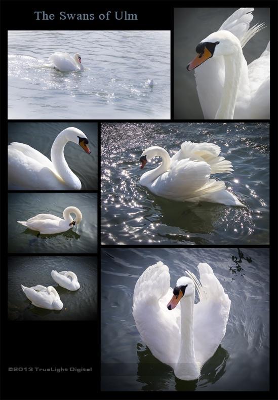 Blog-Swans2